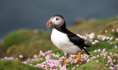 A puffin scores a snack